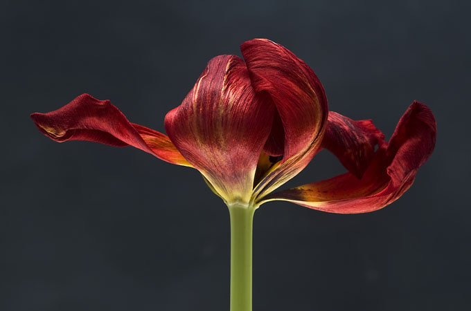 Tulpe_rot_185a